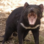 Tasmanian open cut mine may be safe haven for Tasmanian devils