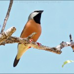 Queensland coal mines will push threatened finch closer to extinction